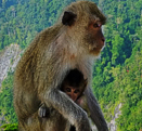 �ԧ�����辺��繷����㹡�к��, Monkey at Krabi